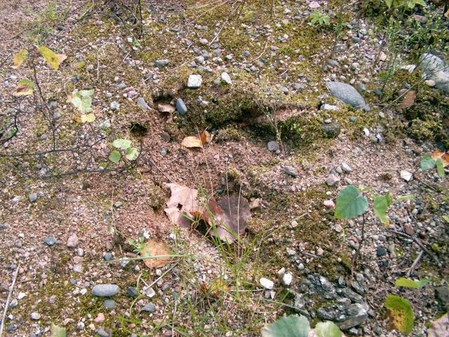 Wild boar's footprint near the railroad