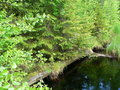 #10: The bridge overgrown by spruces