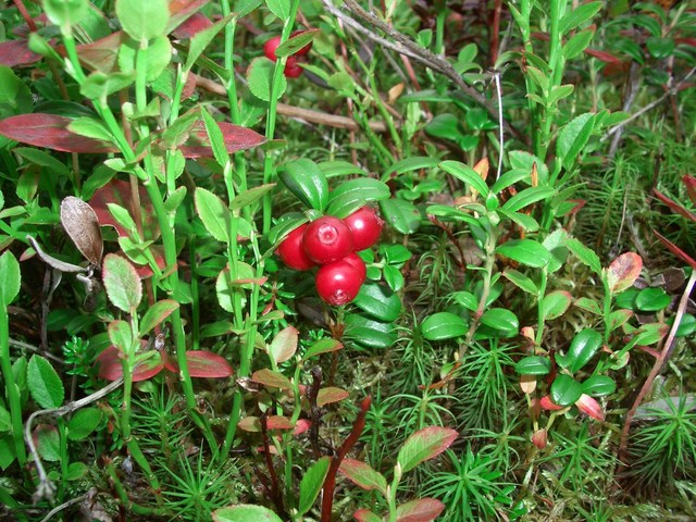 Red whortleberries at the confluence