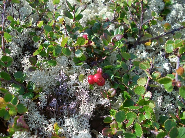 Red whortle berries and reindeer lichens
