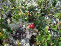 #8: Red whortle berries and reindeer lichens