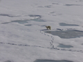 #6: Polar bear in the bay near Sedov station