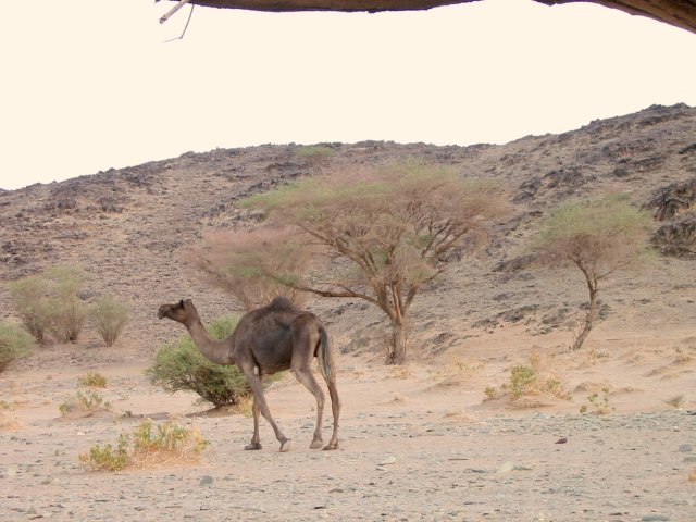 Camel – Somehow the camels eke out an existence in these barren lands.