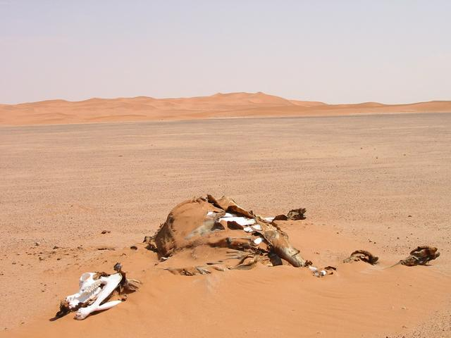 Dead Camel – Some do not make it.