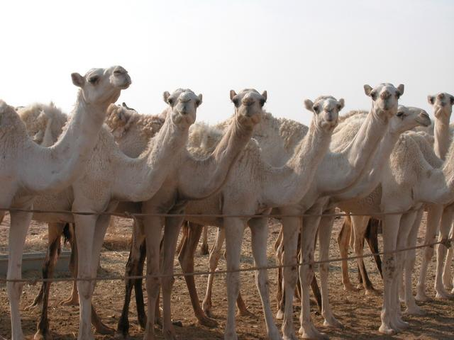 A few of the 250 camels owned by Jabr.