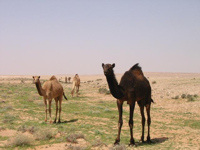 Some good-looking camels that we encountered.