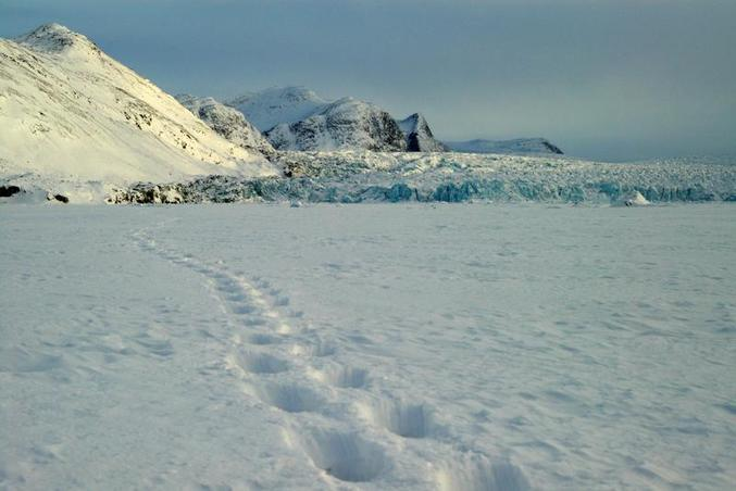 Polar bear track in front of Conwaybreen, about 10km east of the confluence