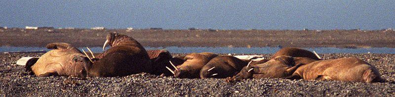 Walruses chilling out in Moffen, a few miles away from the confluence