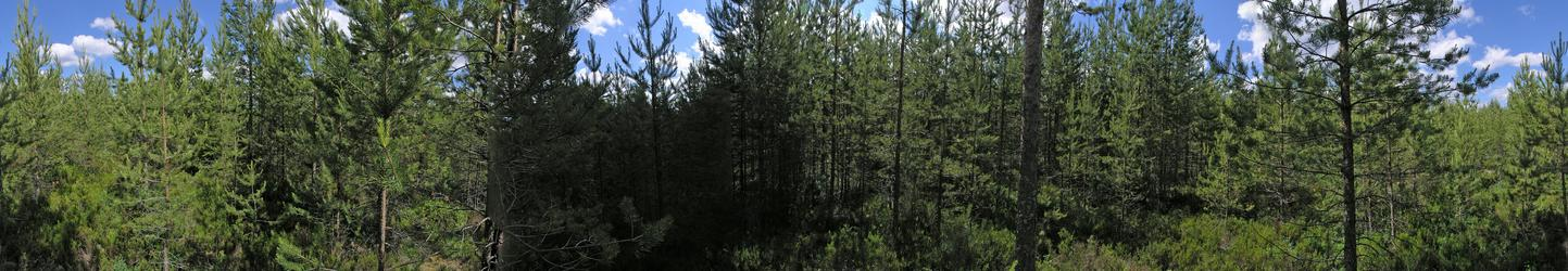 360 degree panorama: Pine trees in all directions!