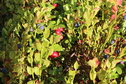 #10: Bilberry and Cowberry