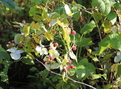 #9: Perfectly ripe and sweet - but something has been here before me