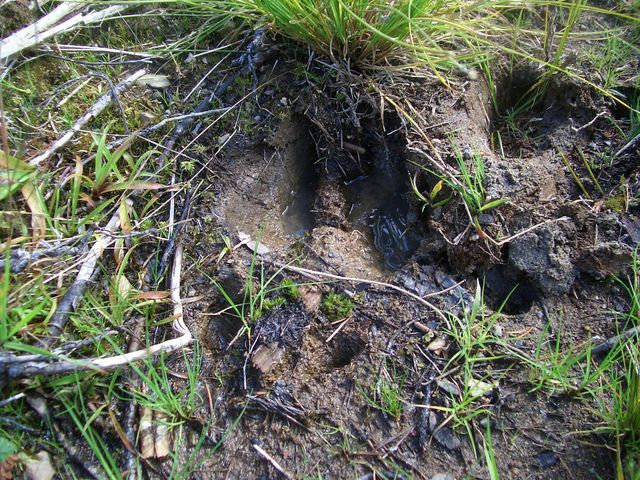 Fresh footprint of an elk