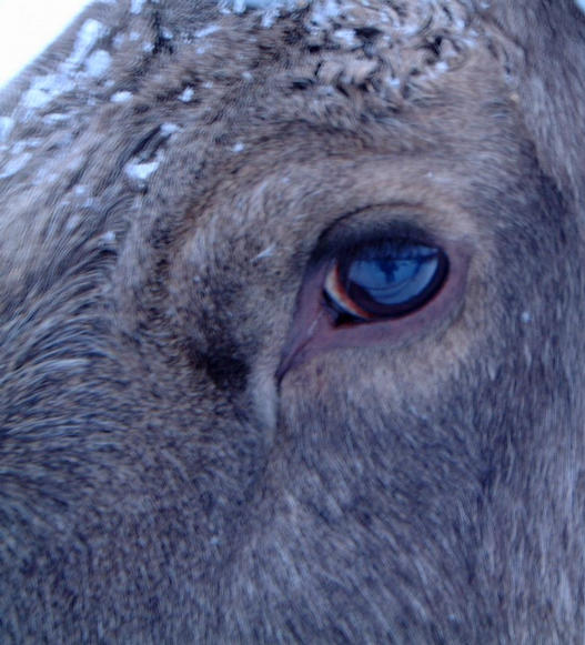 Eye of a tame moose at a nearby moose farm.