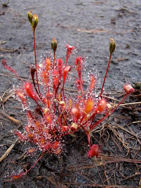 Sundew 780 m north of confluence