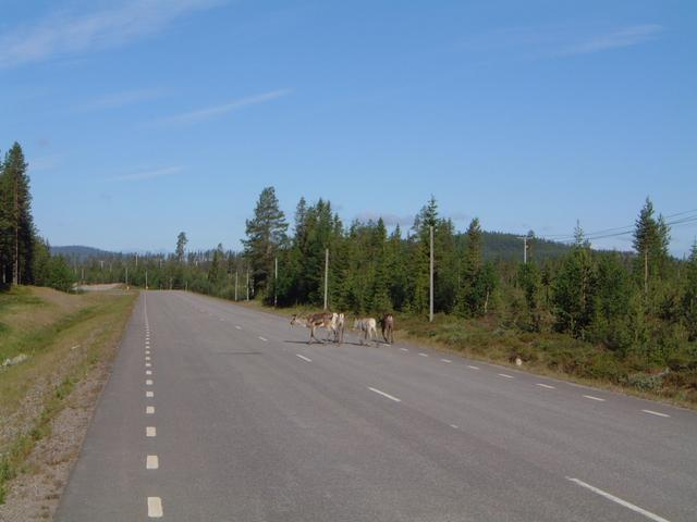 Reindeer on road 45