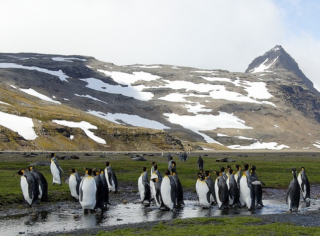 King Penguin Rookery at Salibury Plain