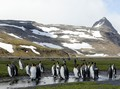 #2: King Penguin Rookery at Salibury Plain