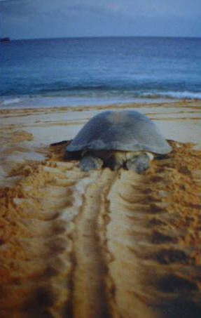 A sea turtle heading back towards the sea after laying
