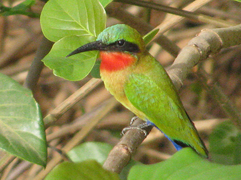 The Red-throated bee-eater is one among many colorful birds in the Park