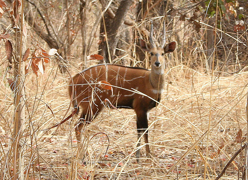 A bushbuck, with its distinctive markings