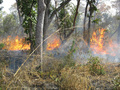 #15: Annual grass fires sweep though the Park; fire is a common element in the ecology of these open woodlands
