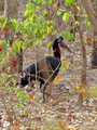 #8: Abyssinian ground hornbills pair up for life; they are among the largest birds of southern Senegal