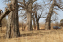 #9: A grove of centuries-old baobabs near the Confluence