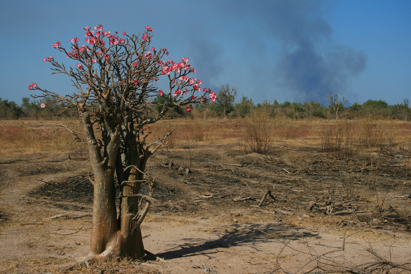 Desert rose and bushfire