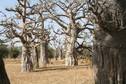 #8: Groves of baobabs marked sites of early human settlements