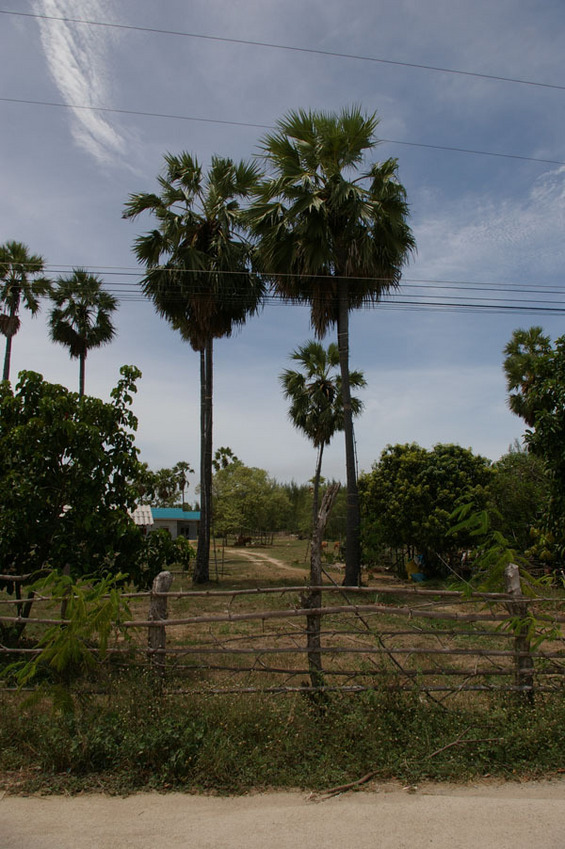The sugar palms (view from the road towards north)