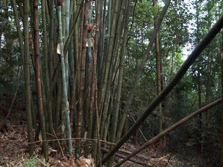 #1: Confluence west view of bamboo tree