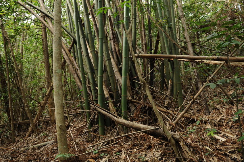 Confluence point located in this bamboo grove - also looking toward North