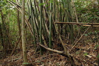 #1: Confluence point located in this bamboo grove - also looking toward North