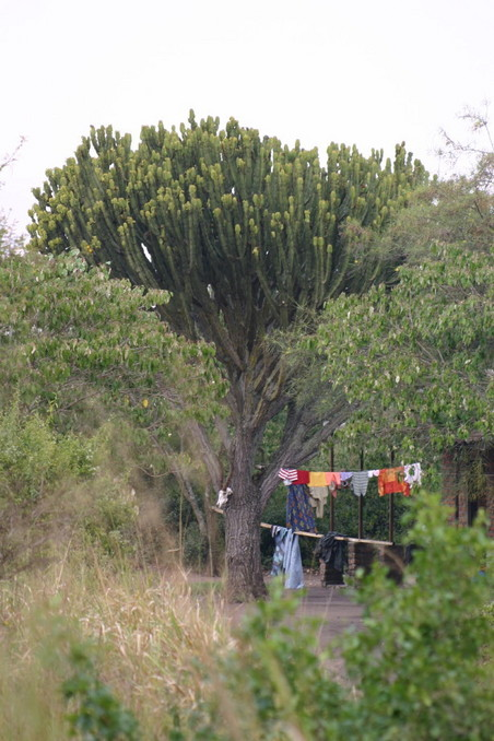 Large euphorbia tree next to the ranger station, about 30 m from the point