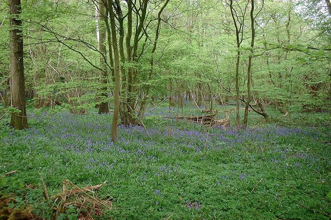 Bluebell wood to the North