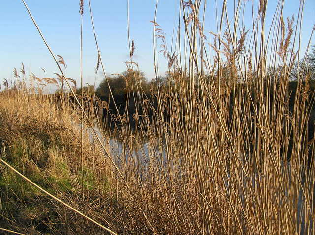 Reeds in the drainage canal--Cowbridge Drain--looking east.