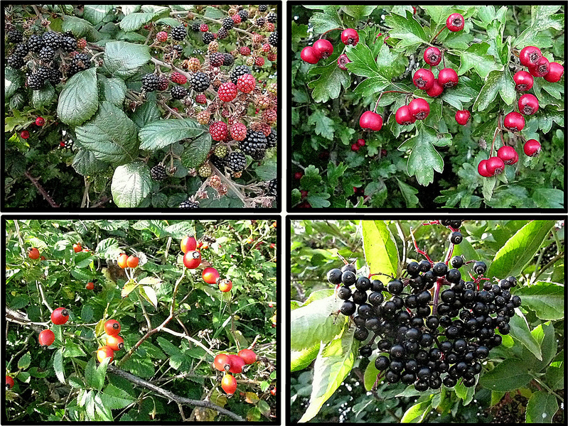 Clockwise from top right: Hawthorn Berries, Elder Berries, Wild Rose Hips, Blackberries.