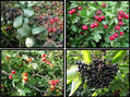 #10: Clockwise from top right: Hawthorn Berries, Elder Berries, Wild Rose Hips, Blackberries.