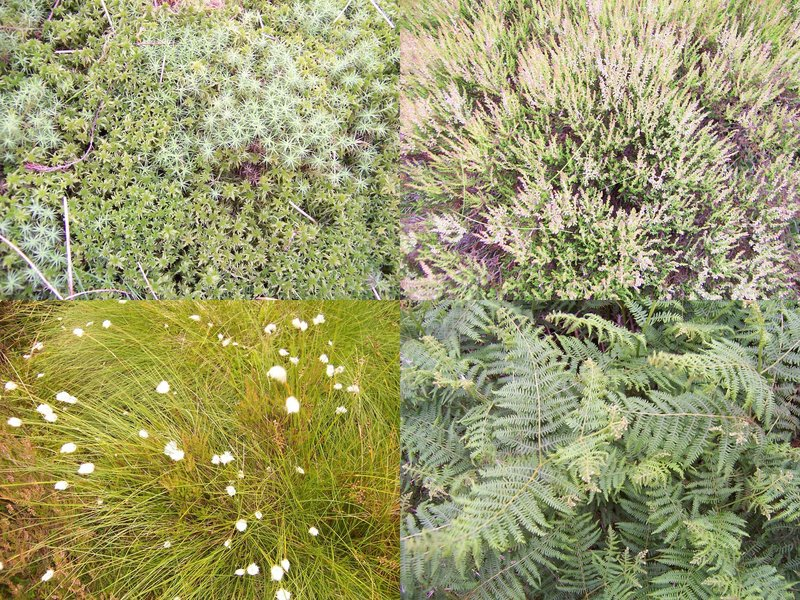 ground cover: moss, heather, bog cotton, ferns