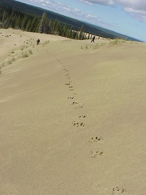 Wolf tracks on the Kobuk Dunes