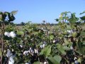 #5: Cotton field