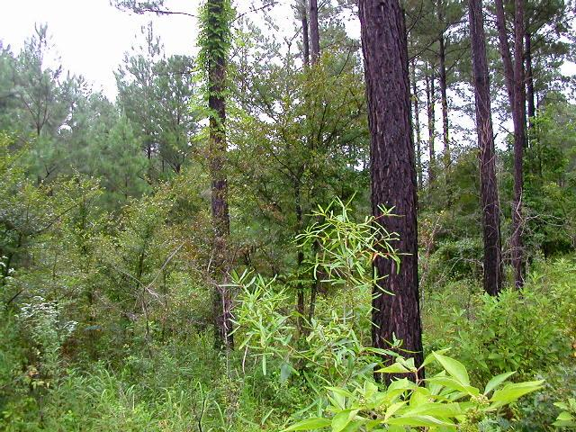 Looking East:  geriatric loblolly pines