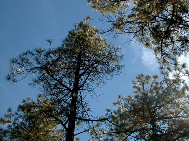 Pine trees at the confluence