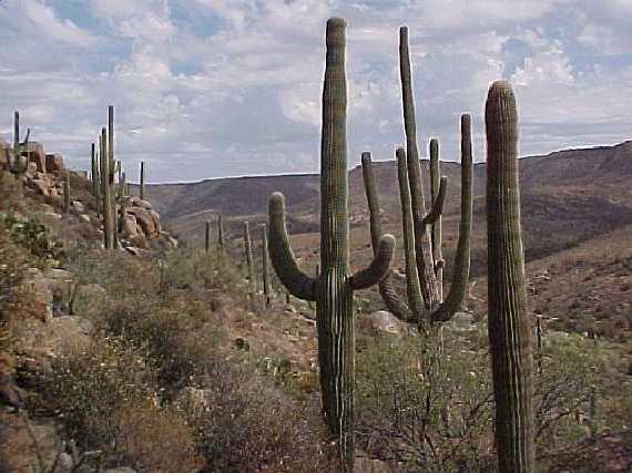 Saguaros on the hike out