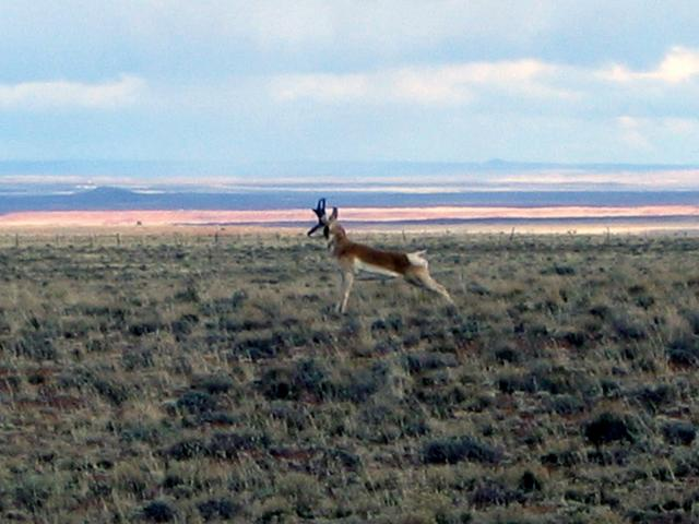 Antelope that was stretching and ready to race us!