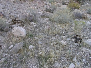 #1: The confluence point lies beside a small wash, with desert grass, rocks, and horse poop