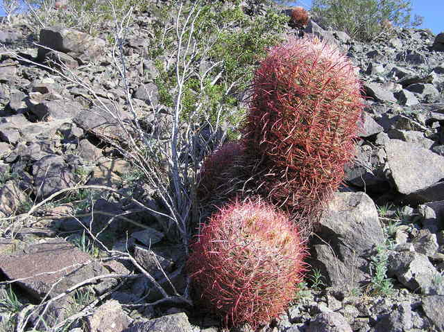 A closeup view of cactus growing on the hillside, east of the confluence point