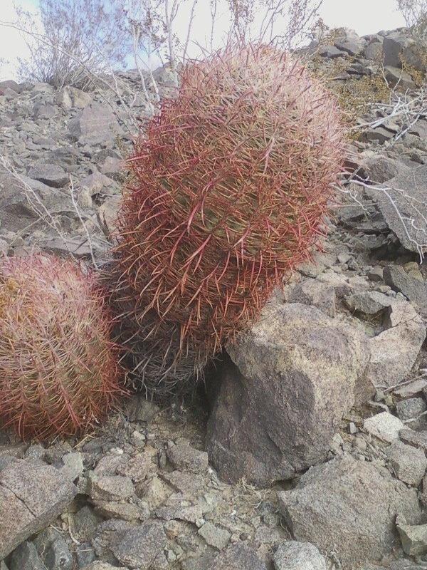 The barrel cactus SE of confluence