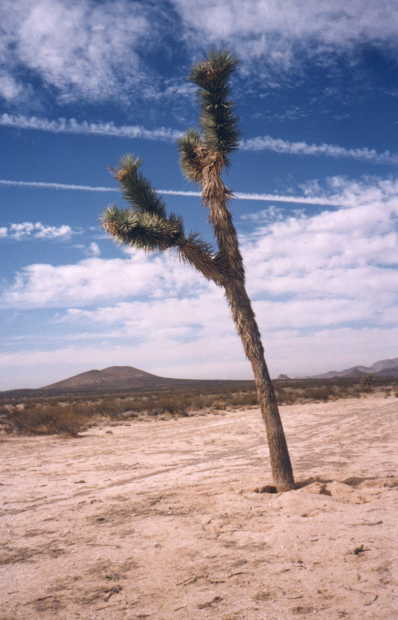 A striking Joshua tree near the confluence point