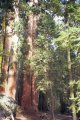 #6: More Giant Sequoias